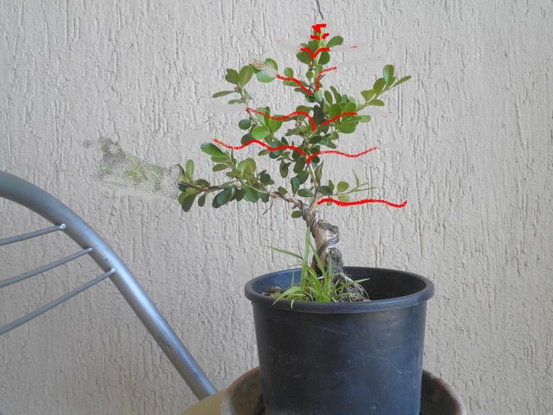 pianta di bosso - Pagina 2 P8280115