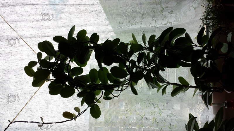 Hoya Carnosa Australis 20140814