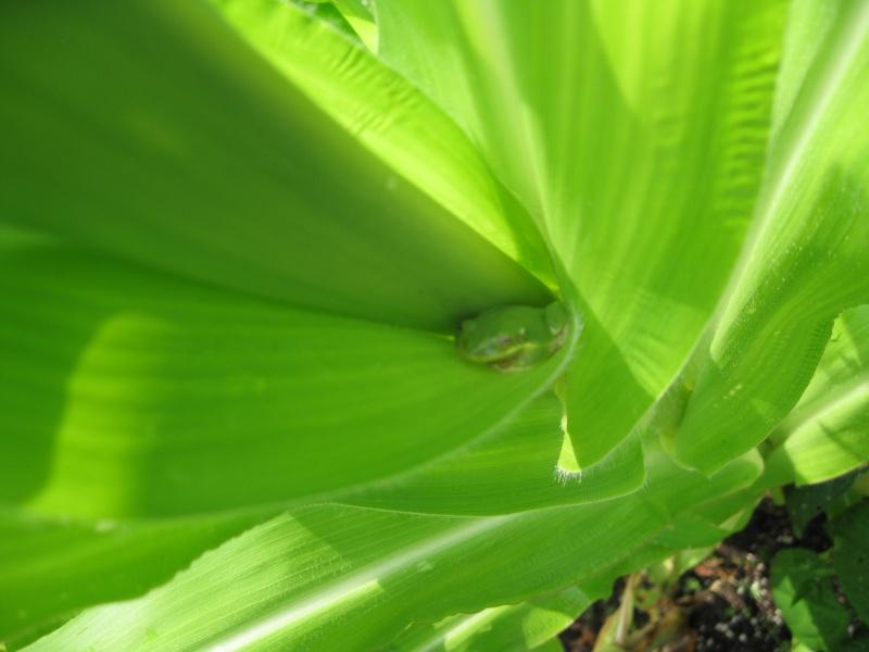 Corn Question Img_1114