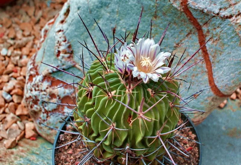 Echinofossulocactus lamellosus Echino92