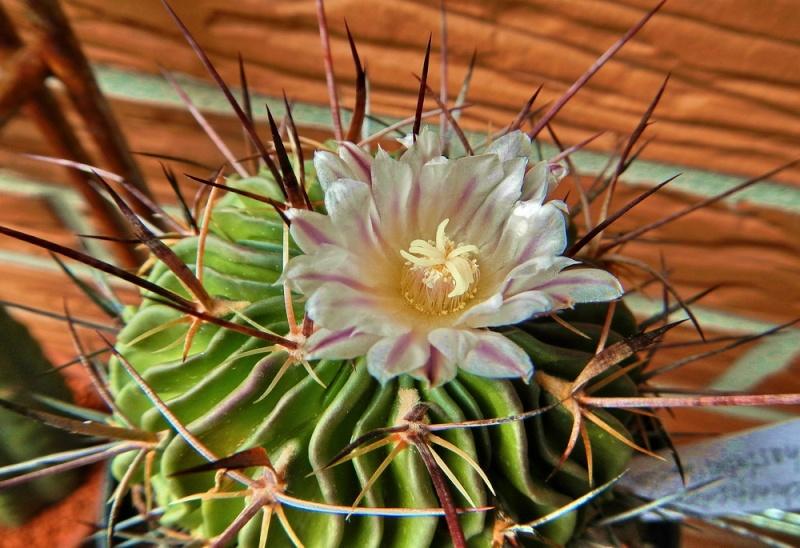 Echinofossulocactus lamellosus Echino93