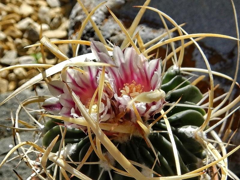 Echinofossulocactus lamellosus Echino95
