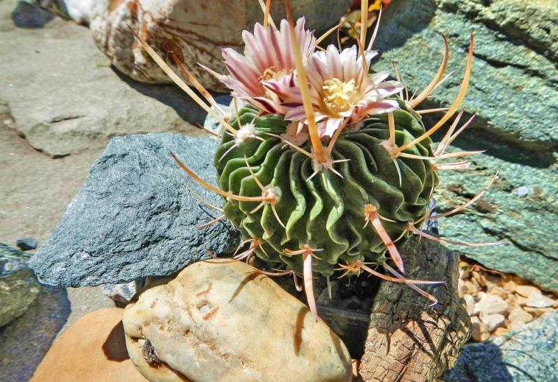 Echinofossulocactus lamellosus Echino96