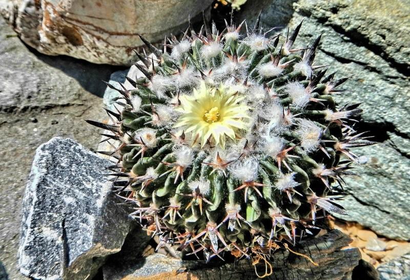 Echinofossulocactus multicostatus Echino97