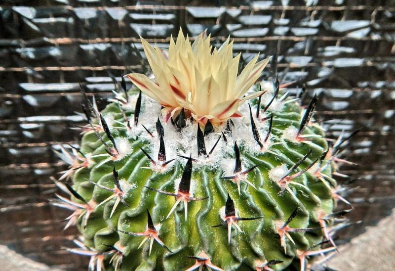 Echinofossulocactus multicostatus Echino98