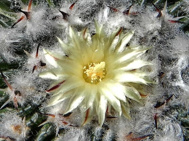 Echinofossulocactus multicostatus Echino99