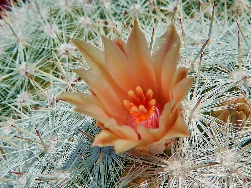 Mammillaria candida ssp. candida Mammil82