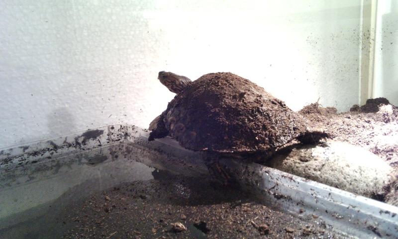 Présentation de ma rhinoclemmys pulcherrima manni Img_2014