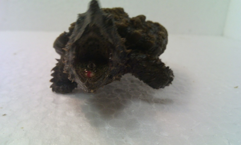 Présentation de ma Macrochelys temminckii (tortue alligator) - Page 3 Img_2024