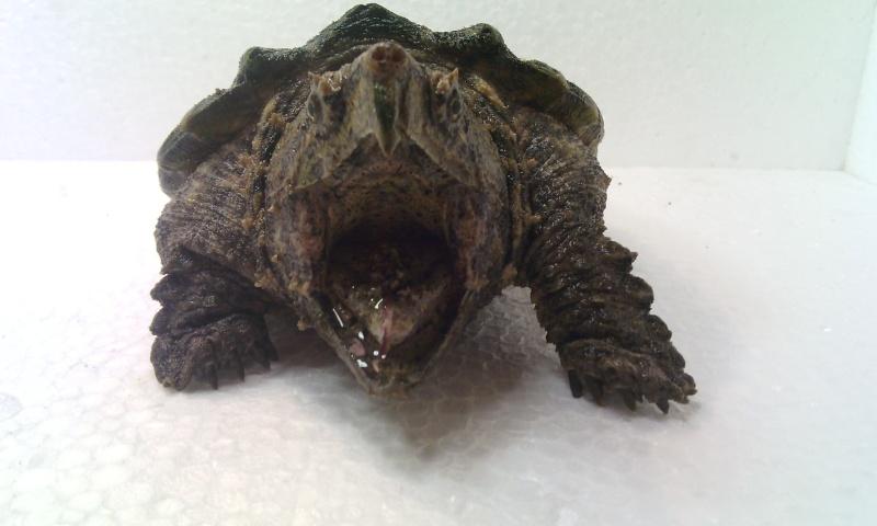 Présentation de ma Macrochelys temminckii (tortue alligator) - Page 3 Img_2025