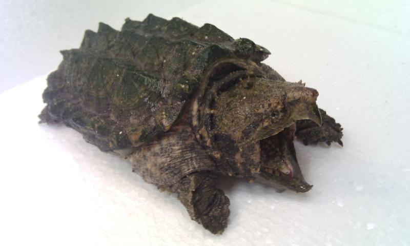 Présentation de ma Macrochelys temminckii (tortue alligator) - Page 3 Img_2027