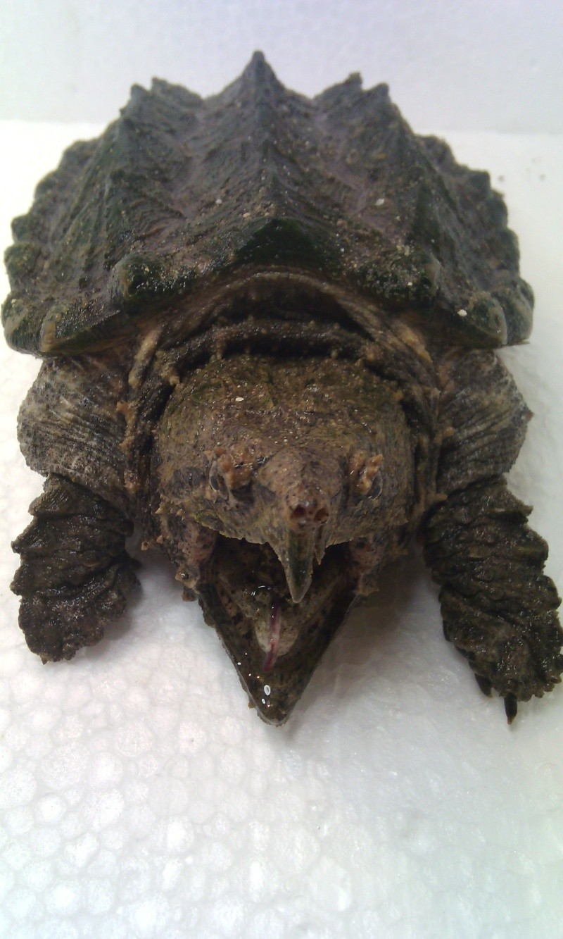 Présentation de ma Macrochelys temminckii (tortue alligator) - Page 3 Img_2028