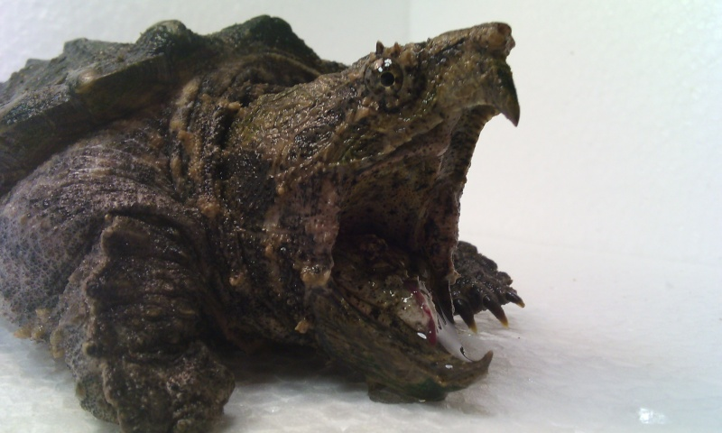 Présentation de ma Macrochelys temminckii (tortue alligator) - Page 3 Img_2030