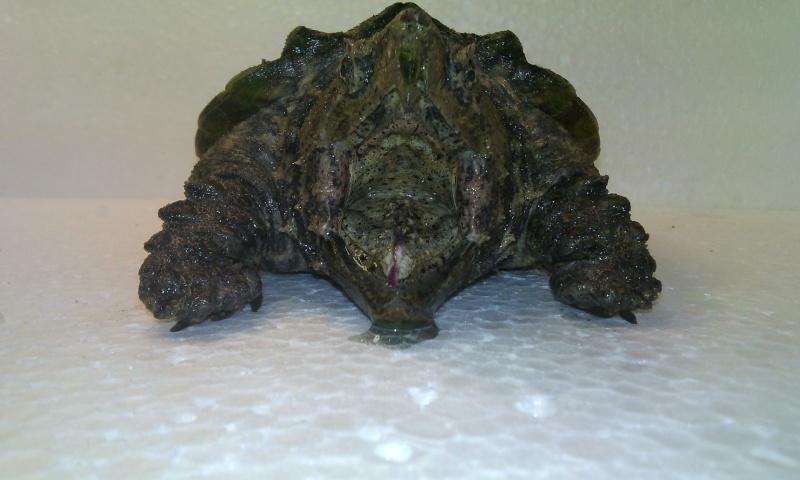Présentation de ma Macrochelys temminckii (tortue alligator) - Page 3 Img_2033