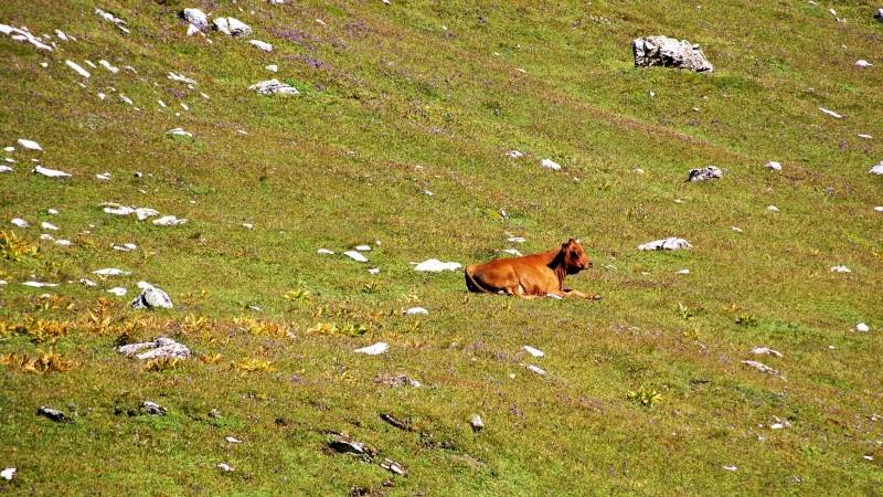 vache alpine dans l'alpage  Dsc01419