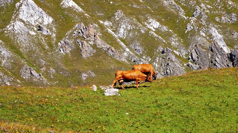 vache alpine dans l'alpage  Dsc01420