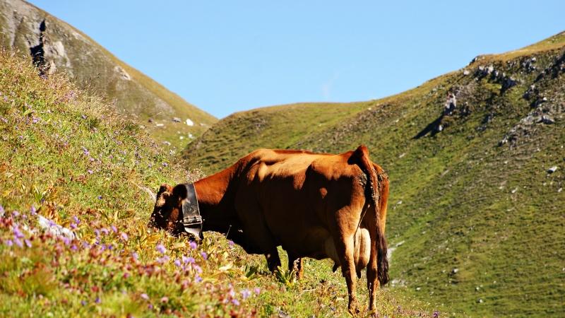 vache alpine dans l'alpage  Dsc01421