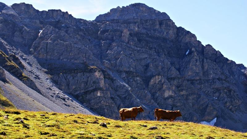vache alpine dans l'alpage  Dsc01517