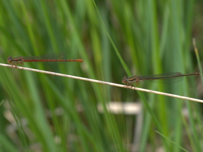 Recherche du nom de 2 libellules 12061610