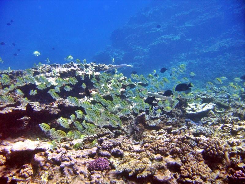Les fonds sous marins de l'ïle de la Réunion... Img_0620