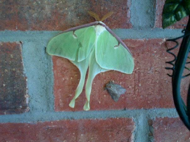 Sur mon mur de brique ...Papillon lune 8614_110
