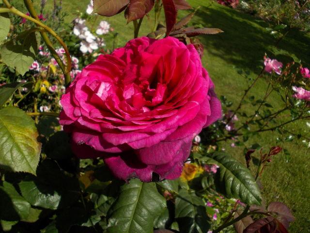 Rosa Parfum de Honfleur  Dscn0017
