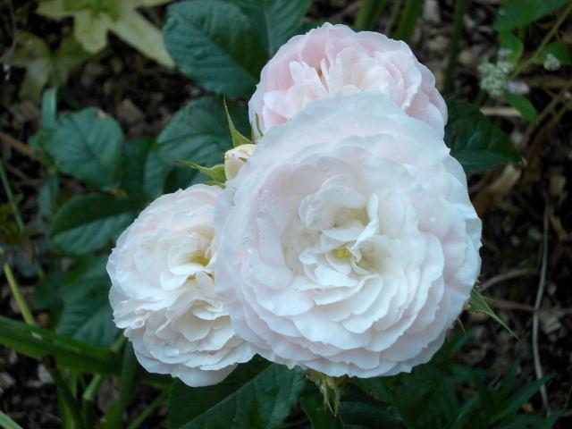 Rosa 'Bouquet Parfait' !!! - Page 6 Dscn0416