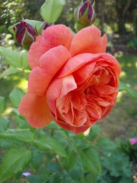 rosier summer song Dscn8120