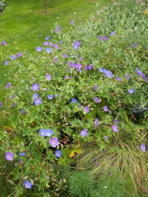 geranium vivace - Page 9 Dscn8221