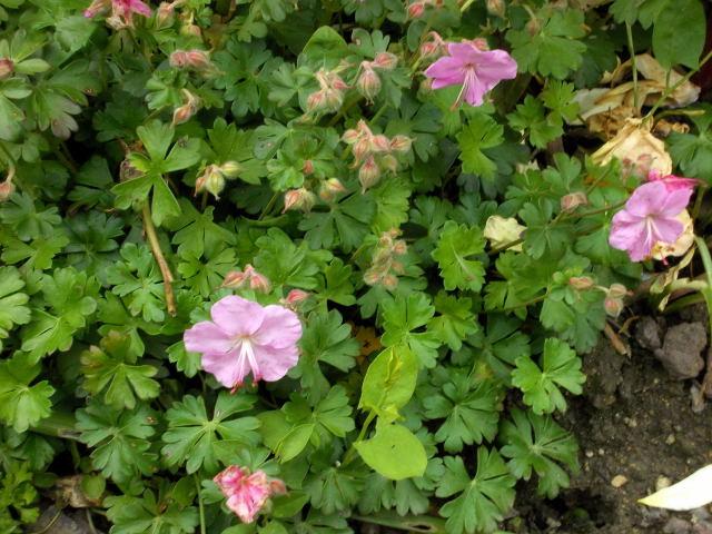 geranium vivace - Page 7 Dscn8415