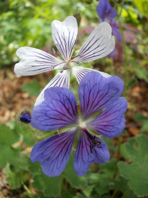 geranium vivace - Page 7 Dscn8611