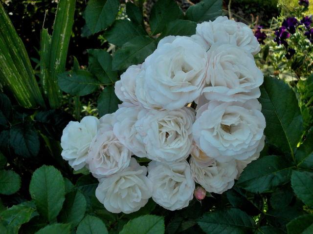 Rosa 'Bouquet Parfait' !!! - Page 6 Dscn9112