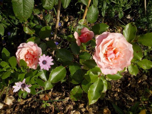Rosa 'Botticelli' - Page 2 Dscn9520