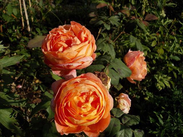 rosier lady emma hamilton Dscn9531