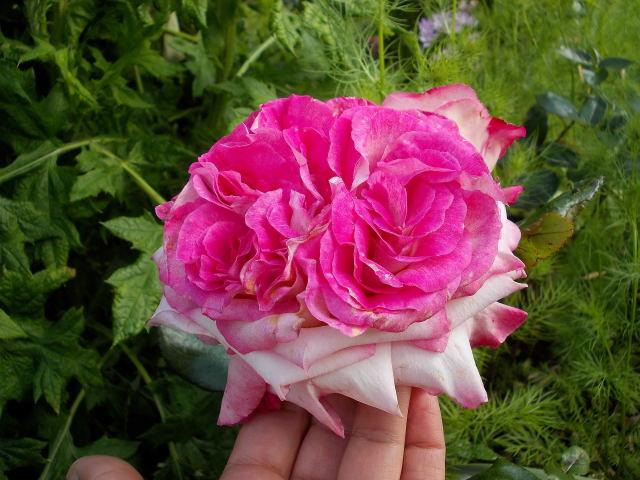 "Rosa ""Pascal Sevran"" - Page 2 Pascal10"
