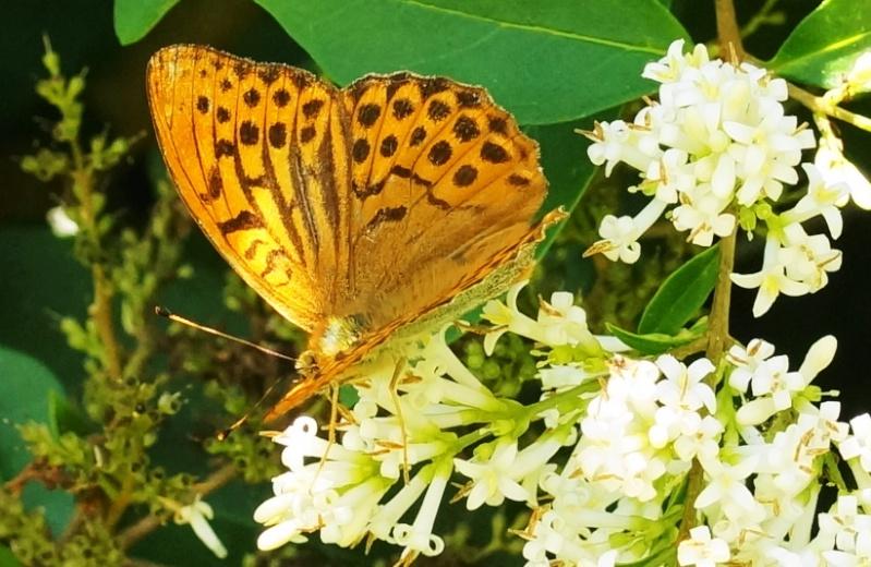 Le papillon de Goulien Dsc01110