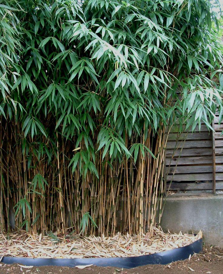 haies de bambous Pseudo10