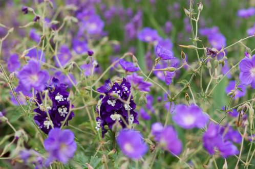 massifs en bleu - fleurs bleues et belles associations Bleu10