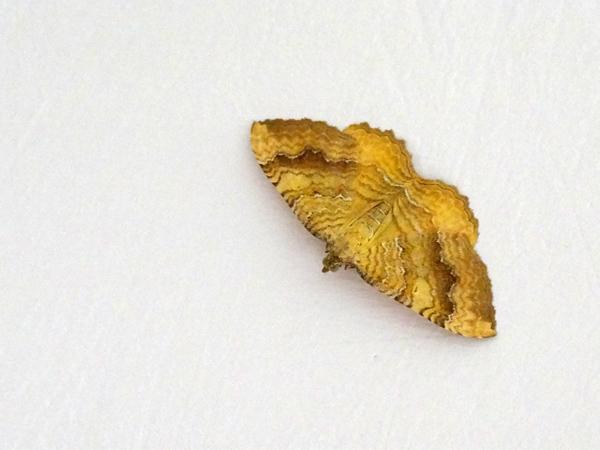 fil(et) à papillons Campto10