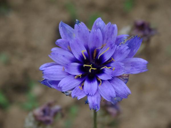 Catananche caerulea - catananche bleue  Catana10