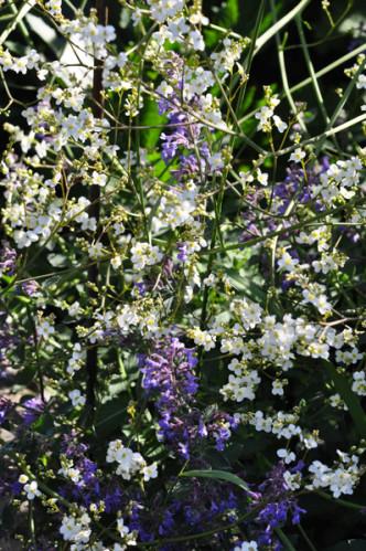 massifs en bleu - fleurs bleues et belles associations Choune10