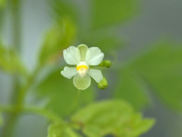 Cardiospermum halicacabum - cardiosperme Coeur_10