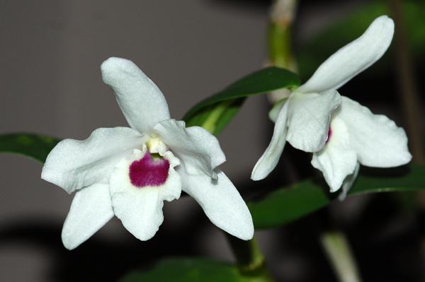 Dendrobium lituiflorum Dendro10