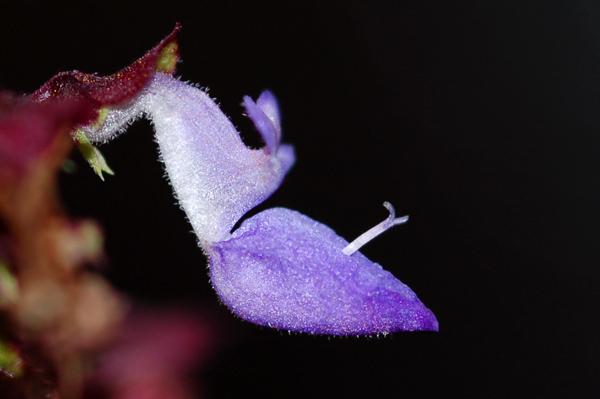 Solenostemon (= Coleus) [devinette] Devnei10