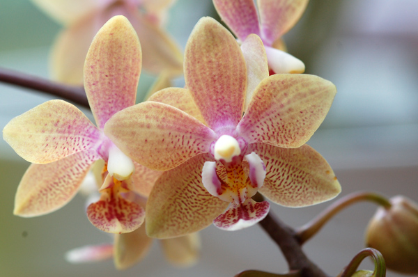 Phalaenopsis mannandra Dsc_0010