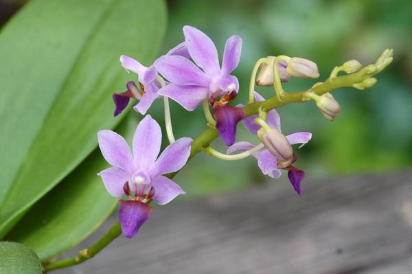 Doritaenopsis 'Purple Gem' f. caerulea  Dtps_p10