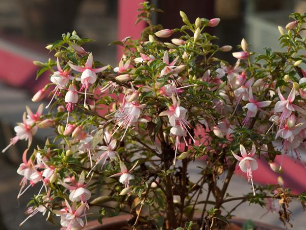 Fuchsia - espèces et variétés frileuses Fuchsi12
