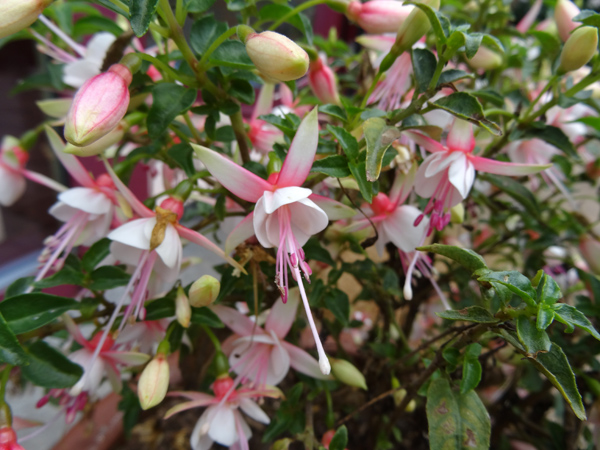 Fuchsia - espèces et variétés frileuses Fuchsi14