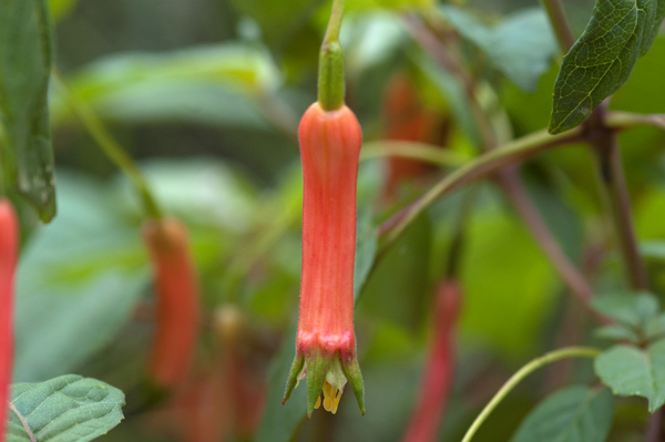 Fuchsia - espèces et variétés frileuses Fuchsi18
