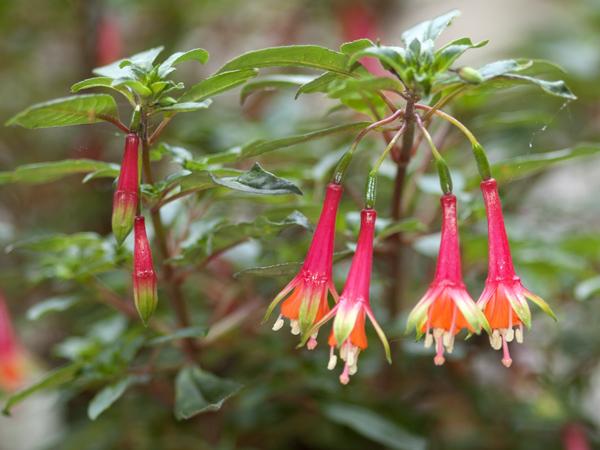 Fuchsia - espèces et variétés frileuses Fuchsi20